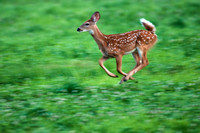 Whitetail fawn, panning shot