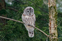 Barred Owl and snowflakes