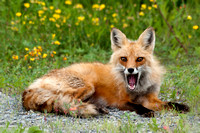Red Fox, yawn