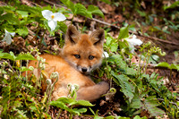 Red fox kit, best seat in the house!