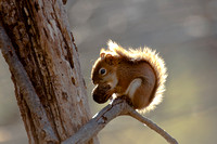 Red squirrel and walnut
