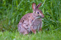 Browsing cottontail
