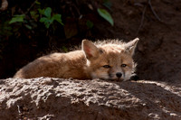 Red fox kit, afternoon snooze