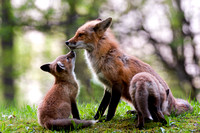 Male red fox and two of his kits