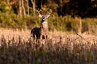 Eight point whitetail buck