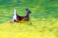 Running Whitetail in mustard field