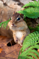 Chipmunk and ferns