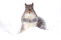 Gray squirrel, winter