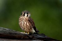 Kestrel, recently fledged female