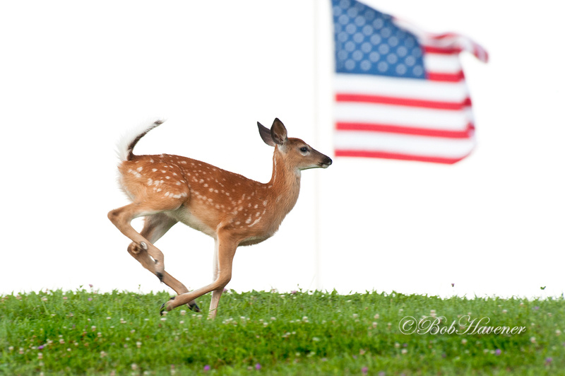 """""""American"""" Whitetail fawn"""