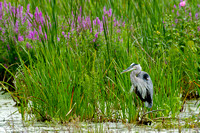 Great blue heron and purple loosestrife