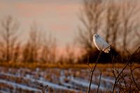 Snowy Owl, late afternoon light